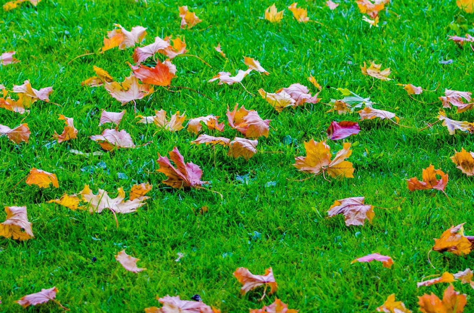Газон осінній сад